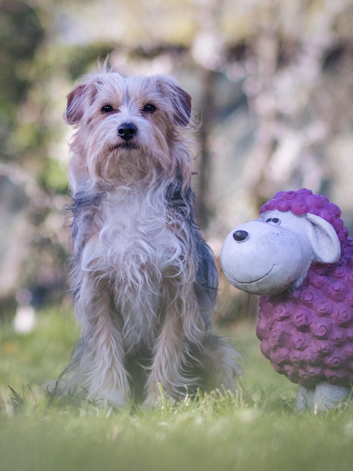 Mein Hund Isy im Garten mit einem Schaf