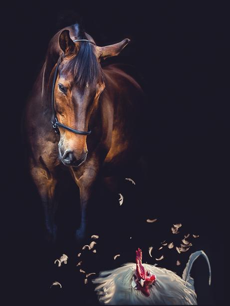 Holsteiner Pferd Charlito mit Hahn und Federn fliegen